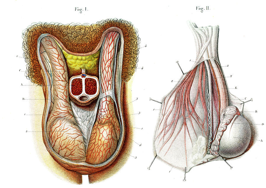 Testis anatomy pictures