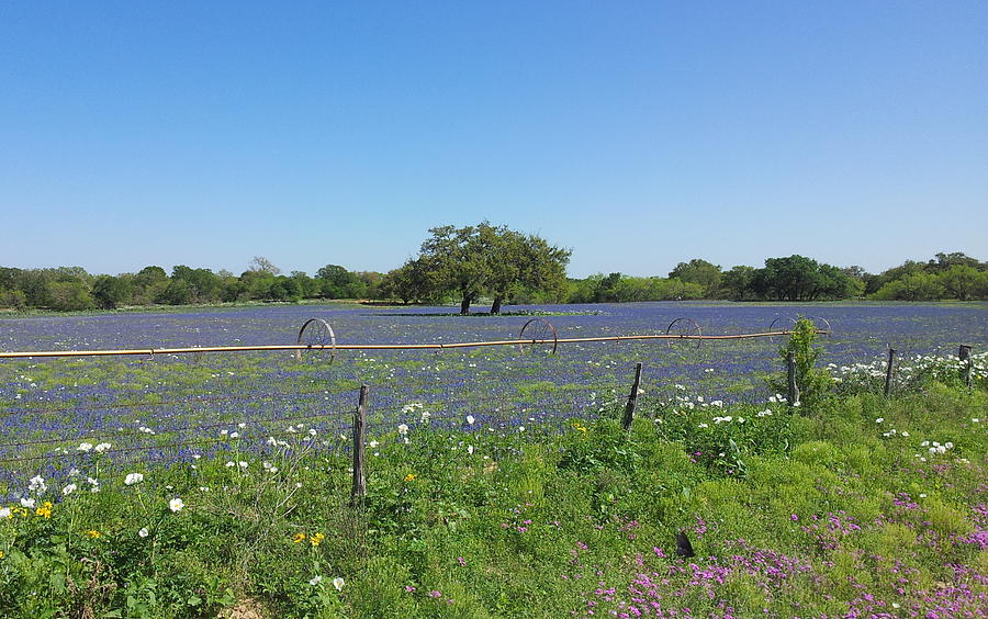Texas Blue Bonnets Photograph