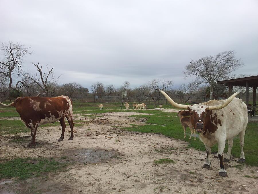 Texas Longhorns Photograph