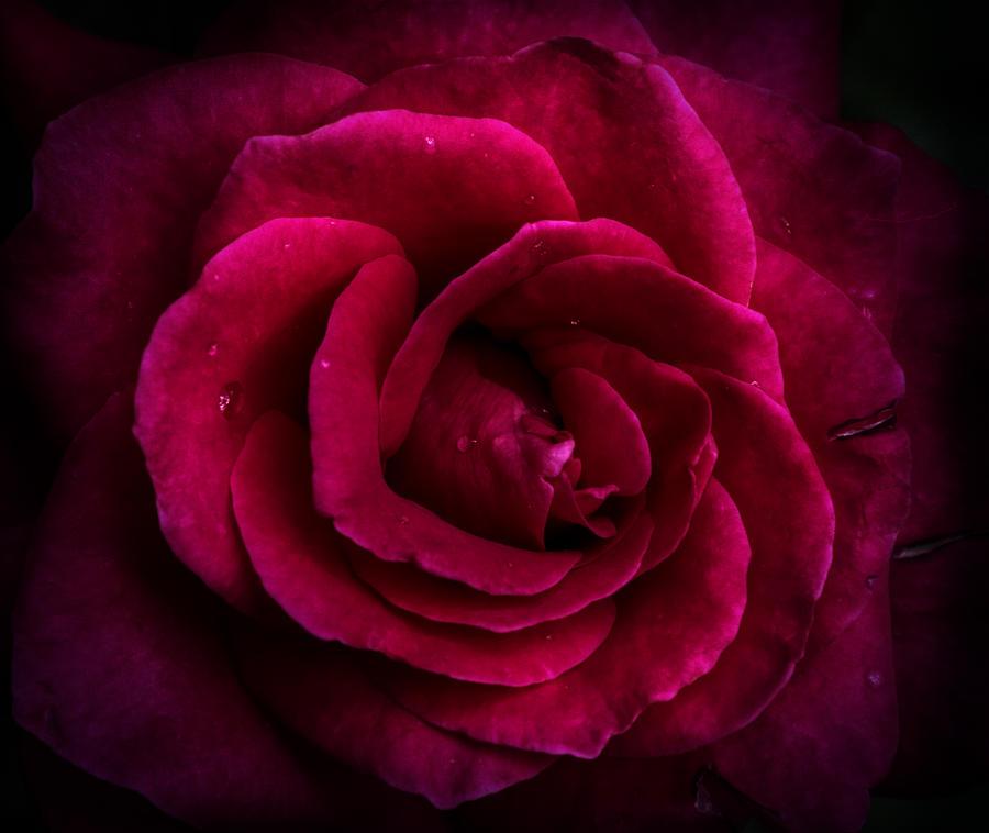 large rose print wallpaper