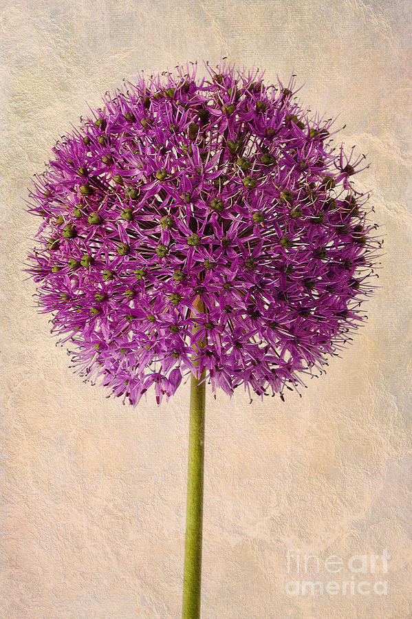 Textured Allium Photograph  - Textured Allium Fine Art Print