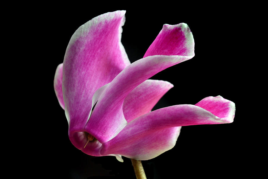 The Art Of Cyclamen Photograph  - The Art Of Cyclamen Fine Art Print