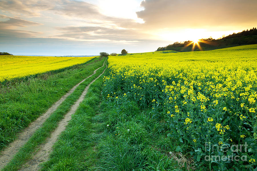 The Beautiful Yellow Rapeseed Field Photograph