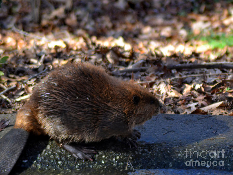 Wildlife Photograph - The Beaver by Eva Thomas