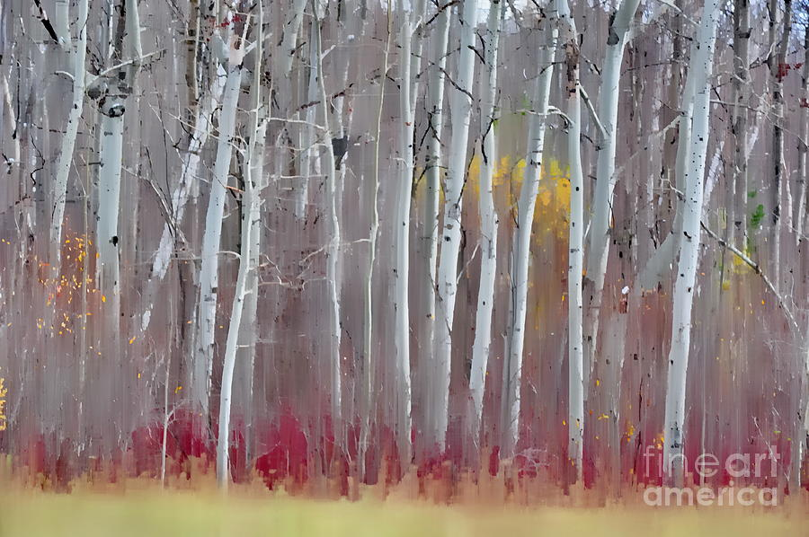The Birches - Single Photograph