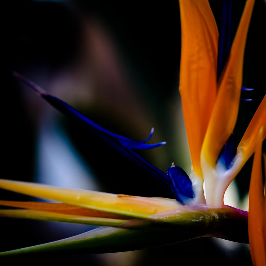 The Bird Of Paradise Photograph