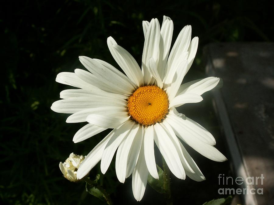 The Camomile Photograph