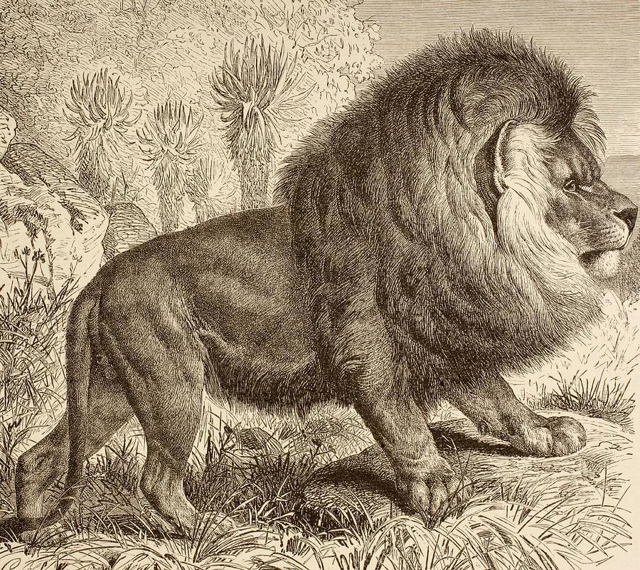 tasmania tigers