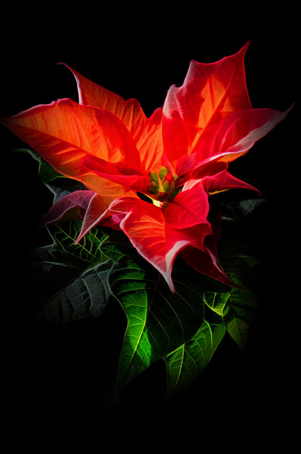 The Christmas Flower - Poinsettia Digital Art  - The Christmas Flower - Poinsettia Fine Art Print