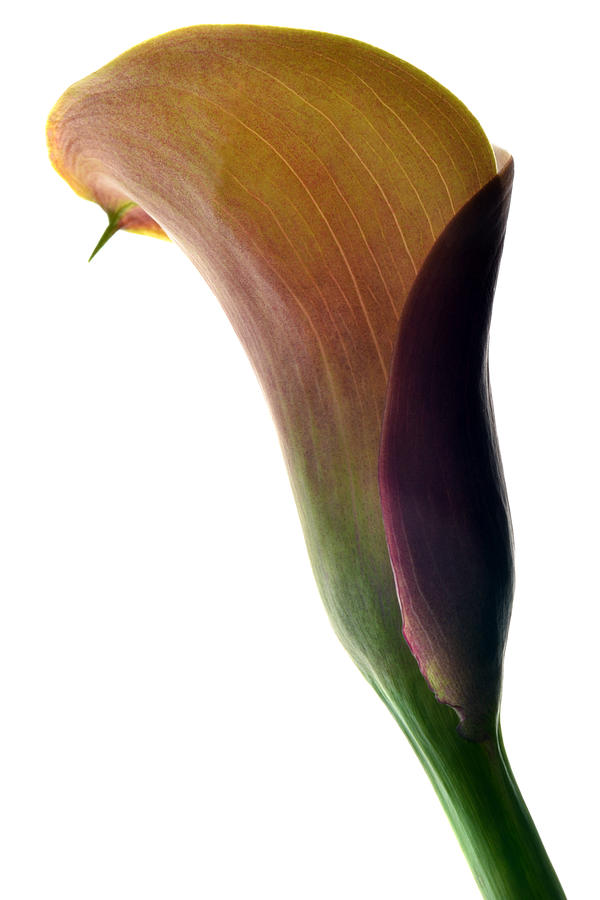 The Colours Of Calla. Photograph  - The Colours Of Calla. Fine Art Print