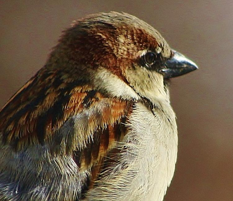 The Common North American Sparrow Photograph