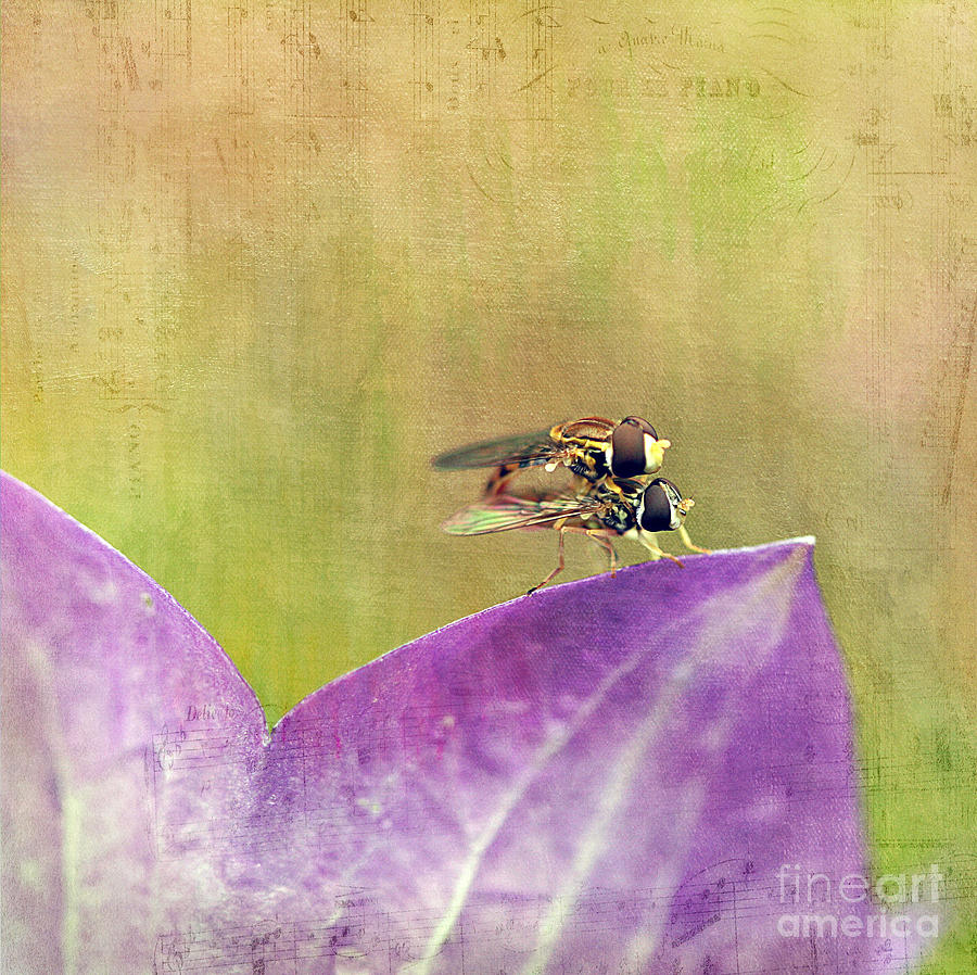 The Dance Of The Hoverfly Photograph
