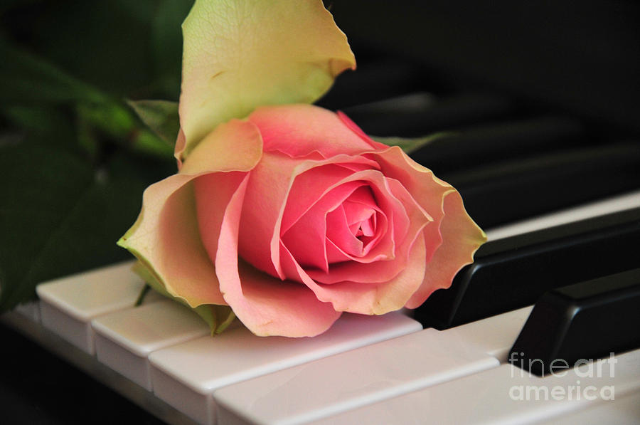 The Delicate Rose Photograph  - The Delicate Rose Fine Art Print