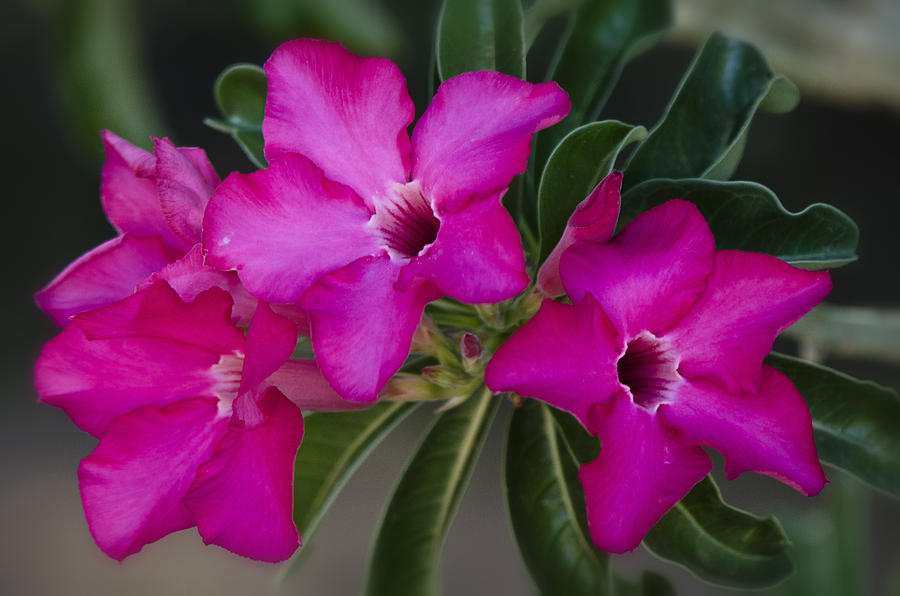 The Desert Rose  Photograph  - The Desert Rose  Fine Art Print