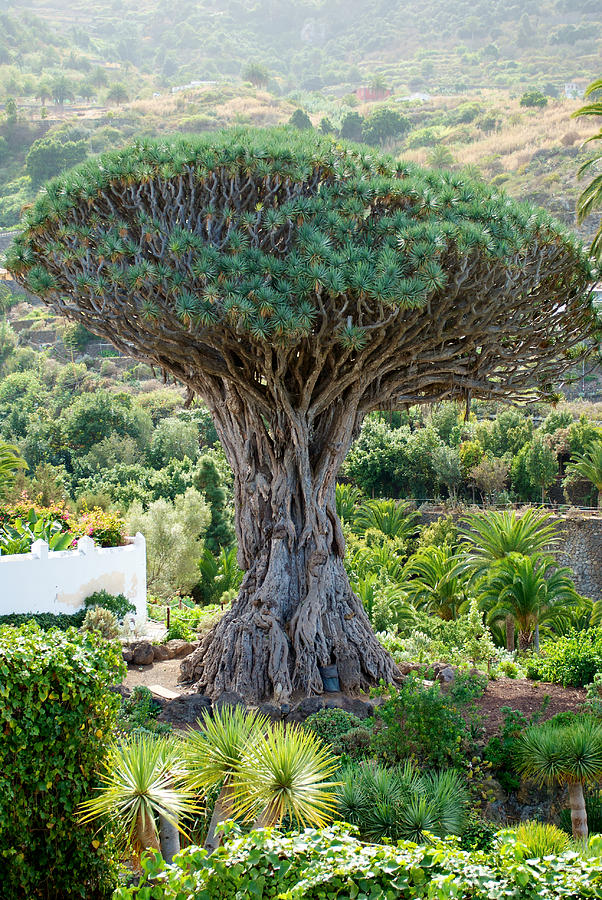 The Dragon Tree / El Drago Milenario Photograph