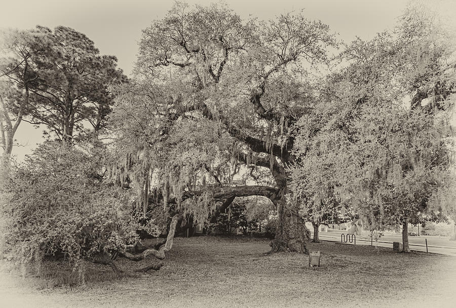 The Dueling Oak - A Place For Dying Bw Photograph