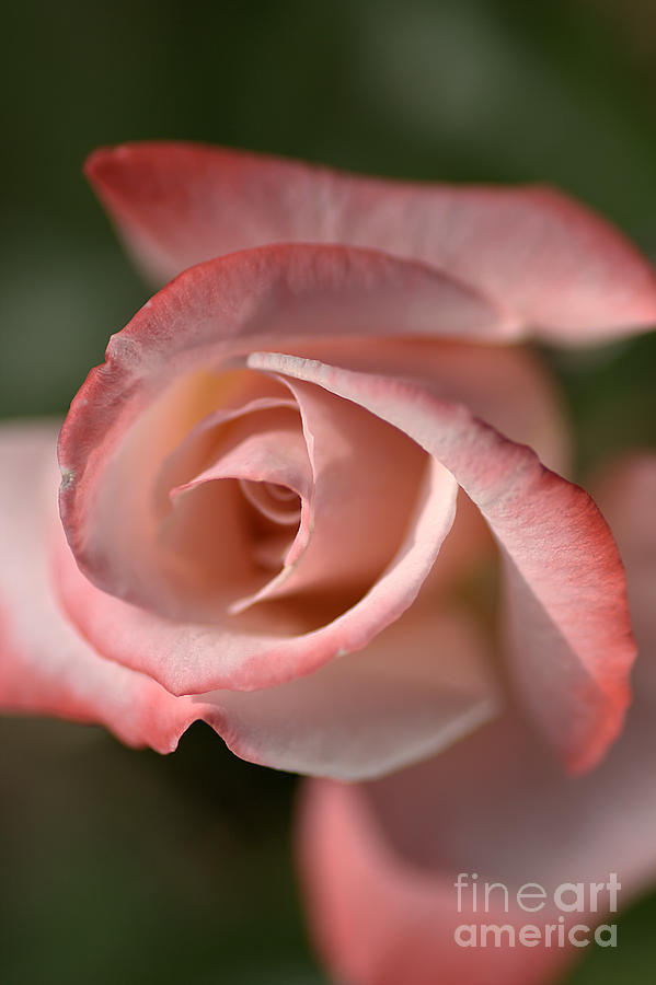 The Eye Of The Rose Photograph