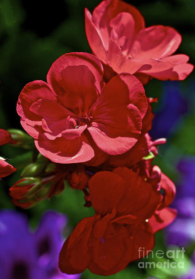 The Geraniums Photograph