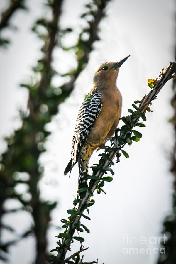 The Gila  Woodpecker Photograph