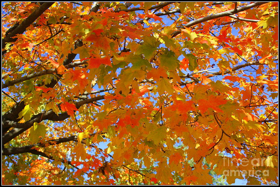 The Golden Leaves Of Autumn Photograph