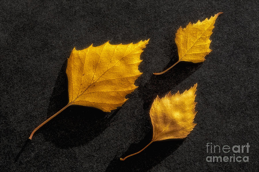 The Golden Leaves Photograph
