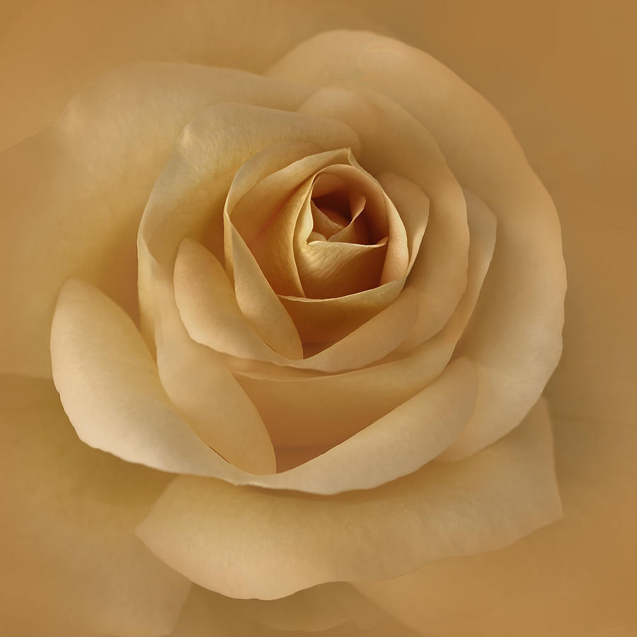 The Golden Rose Flower Photograph  - The Golden Rose Flower Fine Art Print