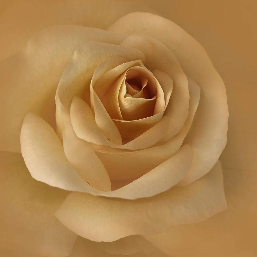 The Golden Rose Flower Photograph