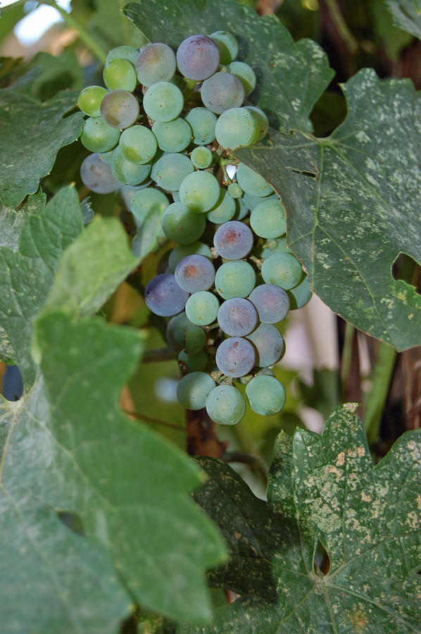 The Grapes Photograph