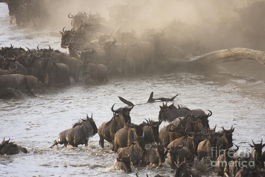 ... River Crossing Photograph - The Great Migration by Chris Scroggins