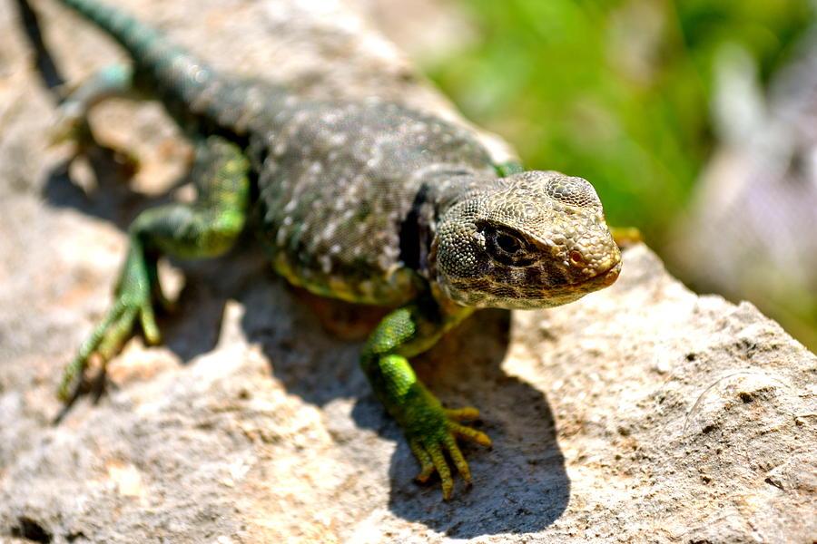 - the-green-lizard-dylan-rogers