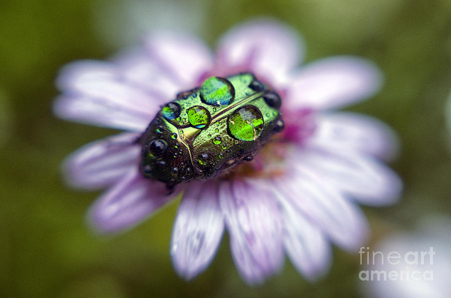 The Green Rose Chafer Photograph  - The Green Rose Chafer Fine Art Print