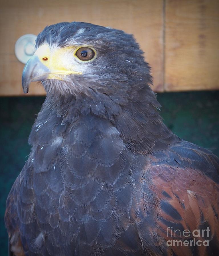 The Hawk Photograph