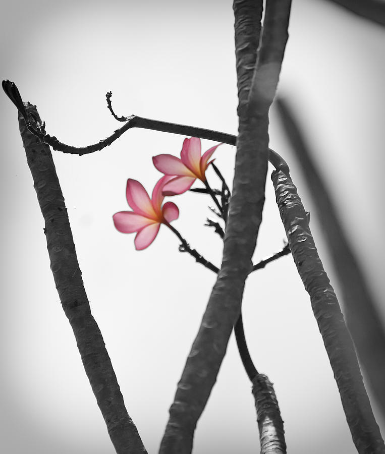 The Light Of Plumeria Photograph  - The Light Of Plumeria Fine Art Print