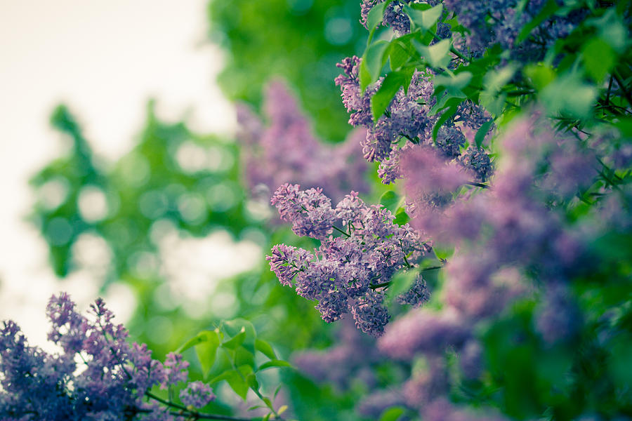 Blüte Photograph - The Lilac by Andreas Levi