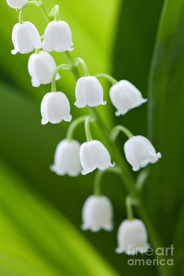 The Lily Of The Valley Photograph  - The Lily Of The Valley Fine Art Print
