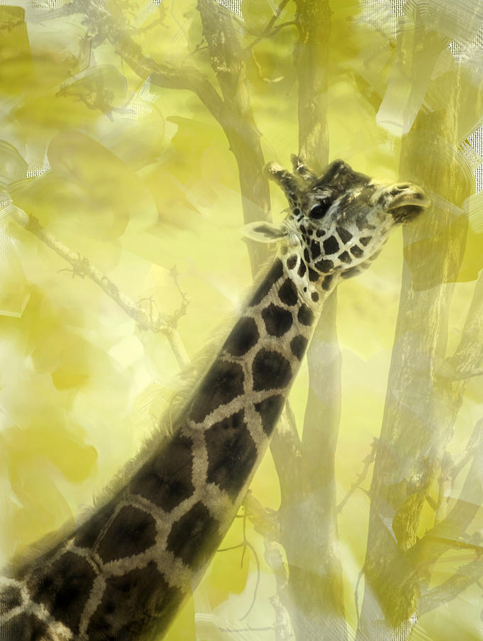 Giraffe Photograph - The Long Morning Stretch by Diane Schuster