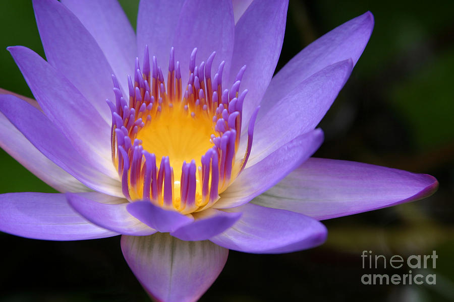 The Lotus Flower - Tropical Flowers Of Hawaii - Nymphaea Stellata Photograph