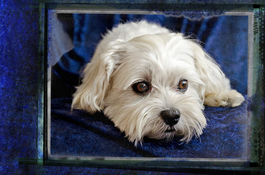 The Maltipoo Bailey On A Blue Background Photograph