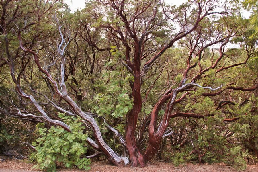 The Manzanita Tree Photograph  - The Manzanita Tree Fine Art Print