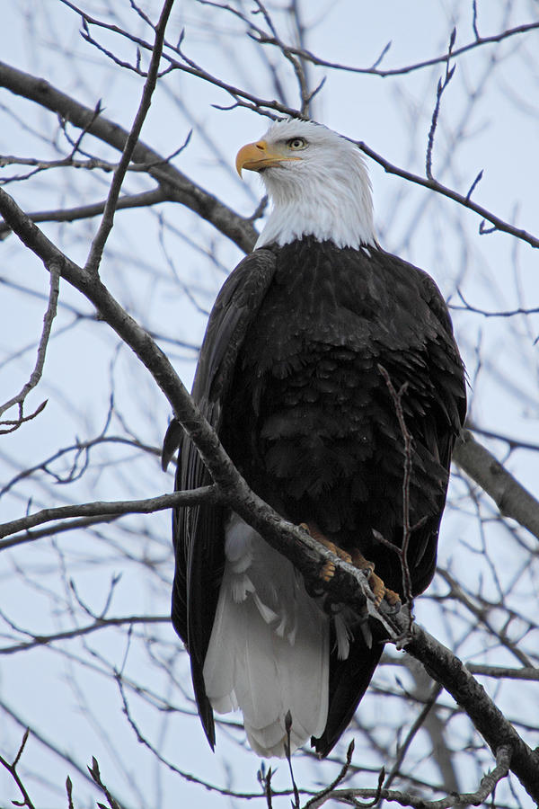 The Mighty Bald Eagle Perched On A Branch In Brackendale B.c  Photograph  - The Mighty Bald Eagle Perched On A Branch In Brackendale B.c  Fine Art Print