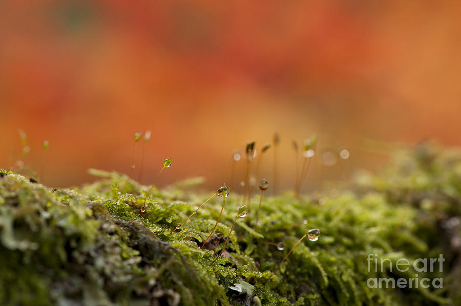 Abstract Photograph - The Miniature World Of Moss  by Anne Gilbert
