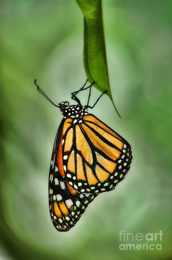 The Monarch Photograph
