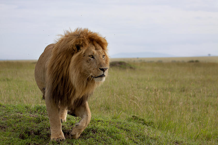 The Most Beautiful Lion Of The Masai Mara Photograph