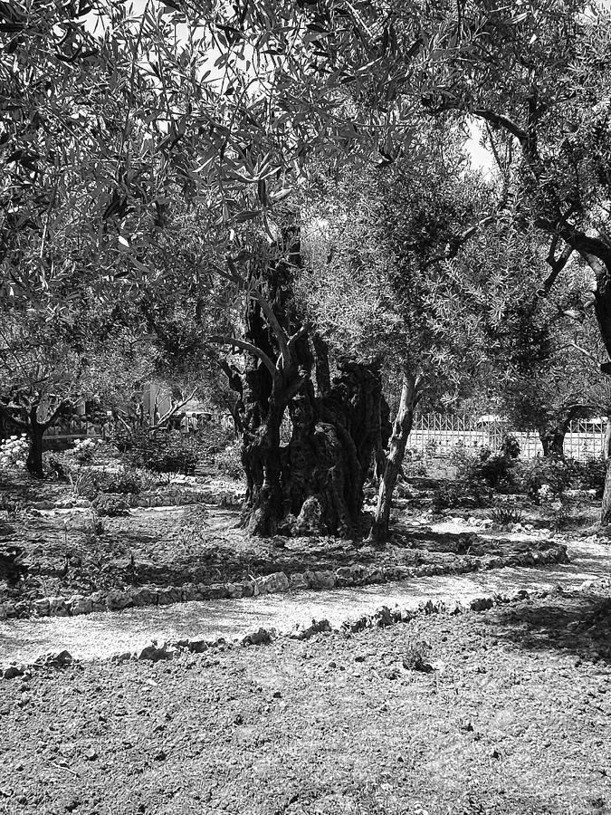 The Olive Tree At Gethsemane Photograph