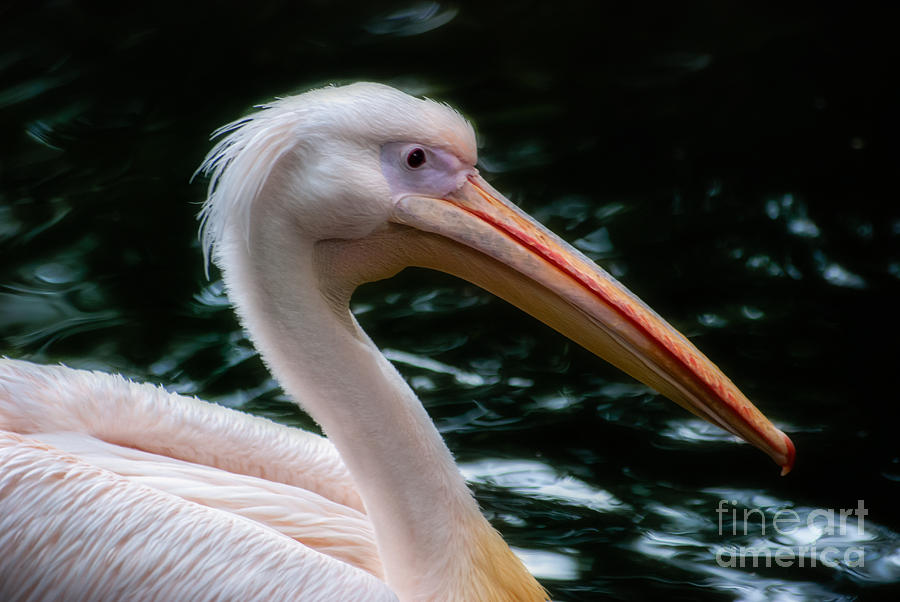 The Pelican Photograph  - The Pelican Fine Art Print