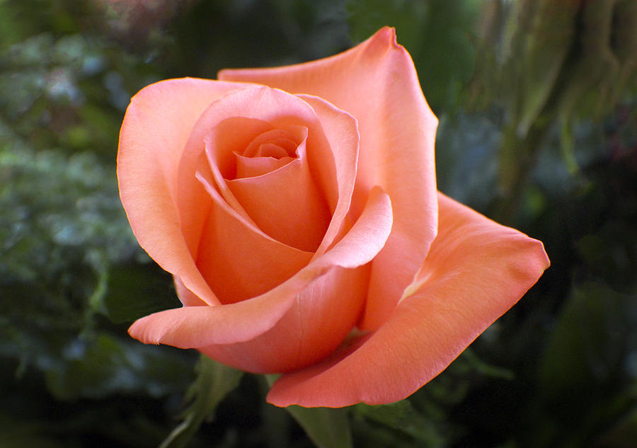 The Perfect Coral Rose Photograph