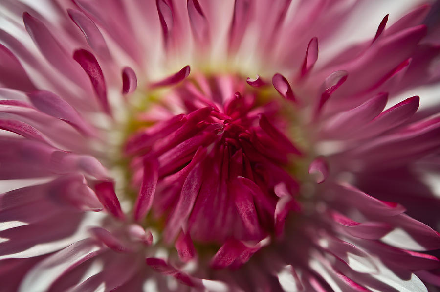 The Pink Center Photograph  - The Pink Center Fine Art Print