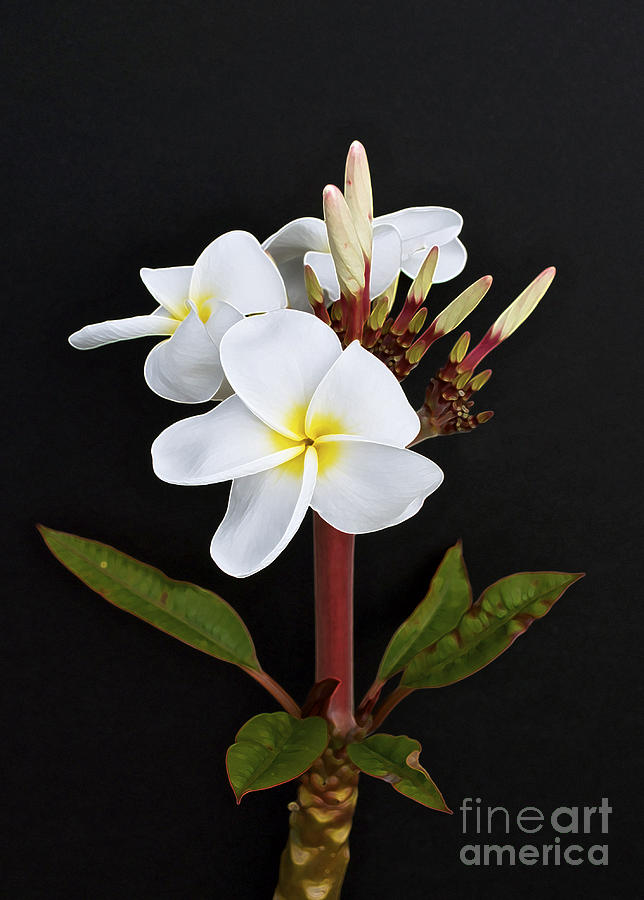 The Plumeria Photograph  - The Plumeria Fine Art Print
