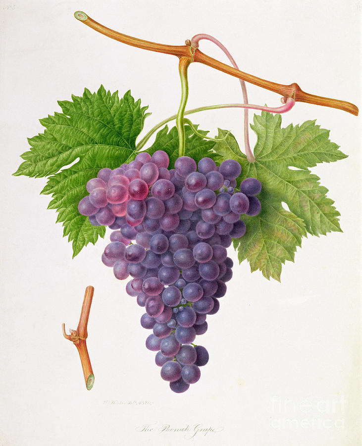 Bunch Of Grapes; Fruit; Branch; Black; Leaves; Botanical Illustration Painting - The Poonah Grape by William Hooker