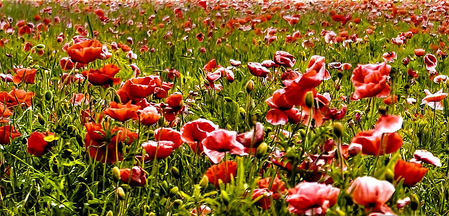The Poppy Field Photograph  - The Poppy Field Fine Art Print